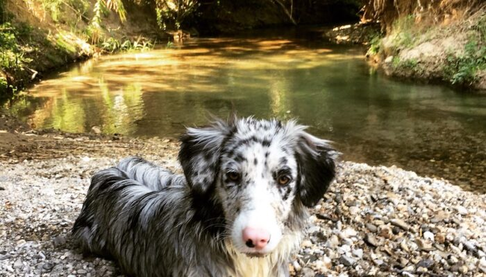 Our Border Collie Josie after a refreshing dip in the river