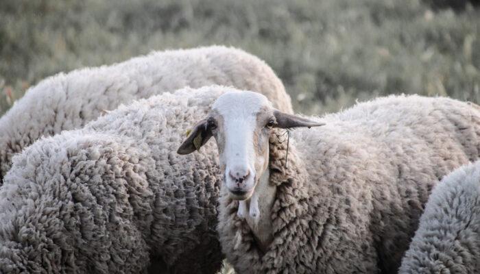 Manchmal hüten wir Schafe für einen befreundeten Bauern. Das sieht dann so aus.