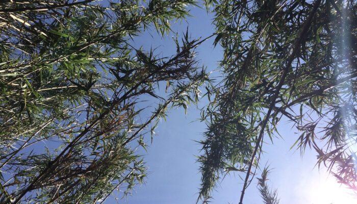 Blick in den Himmel durch den Bambus
