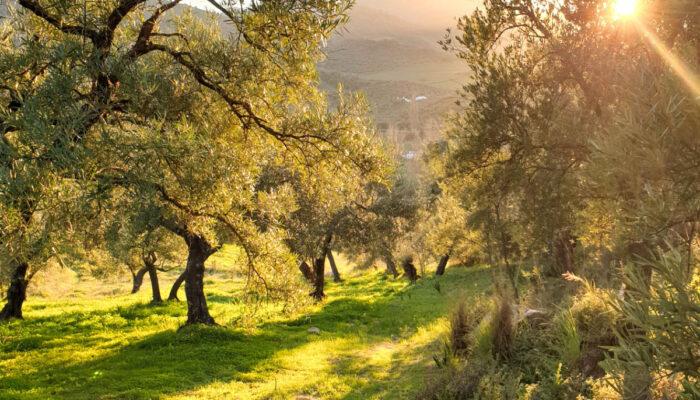 Magical sunrise in the olive grove near Finca Vegana