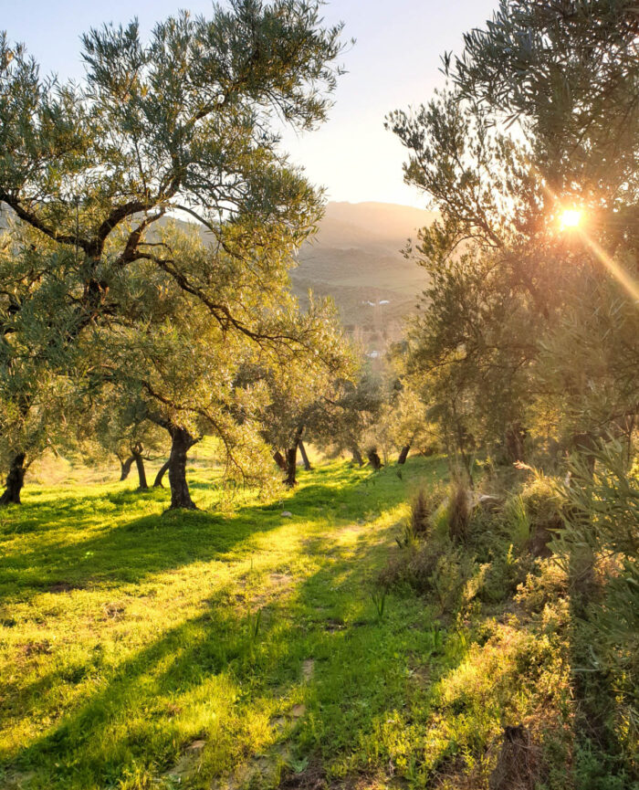 Magical sunrise in the olive grove near Finca Vegana